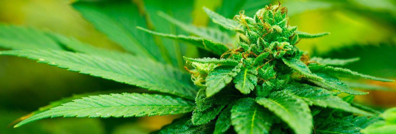 marijuana medical handbook pdf download