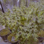 Las Vegas Strip Welcomes Essence of Cannabis 2