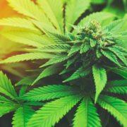 cannabis for chronic pain 2