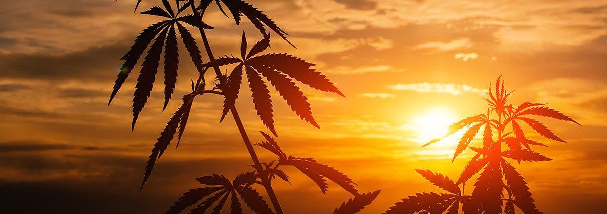 cannabis-summer