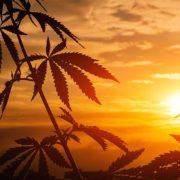 cannabis summer