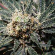 cannabis by krystalramirez 2 HOMEPAGE