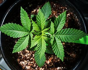 Parents Cannabis 001