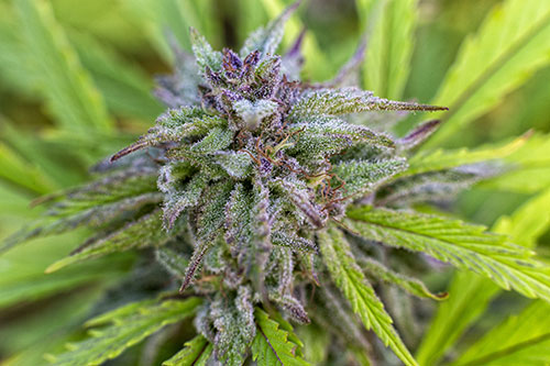 what to look for in a strain