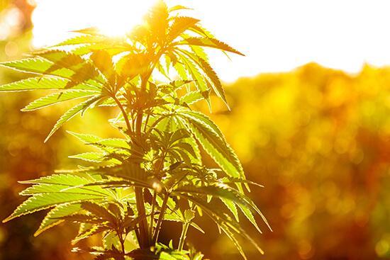 Final Thoughts on CBD Hemp vs. Marijuana