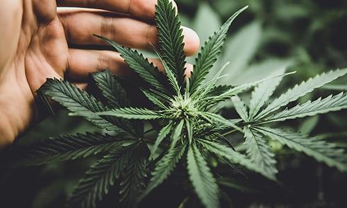 How does cannabis marijuana work for chronic pain