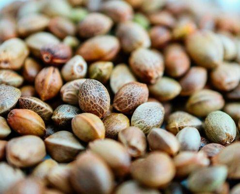 Sinsemilla Seeds