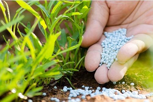 Fetilizing with kale