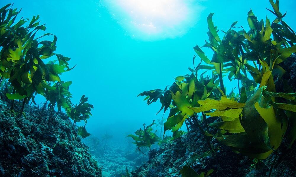 Seaweed in the ocean