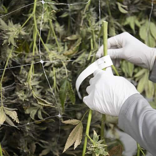 dry curing marijuana
