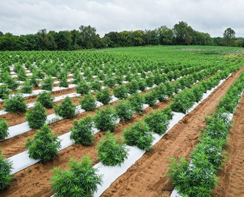 hemp farms