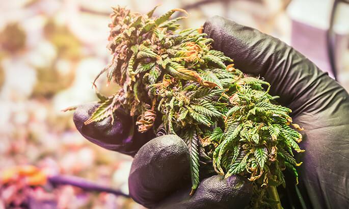 holding a marijuana plant