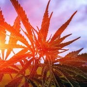 marijuanas strain with sunrays