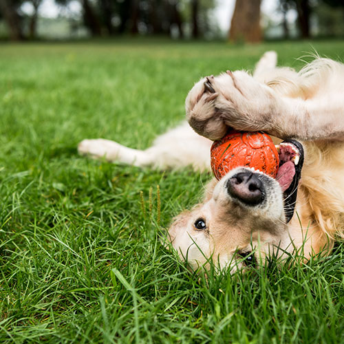 golden retriever playing with ball
